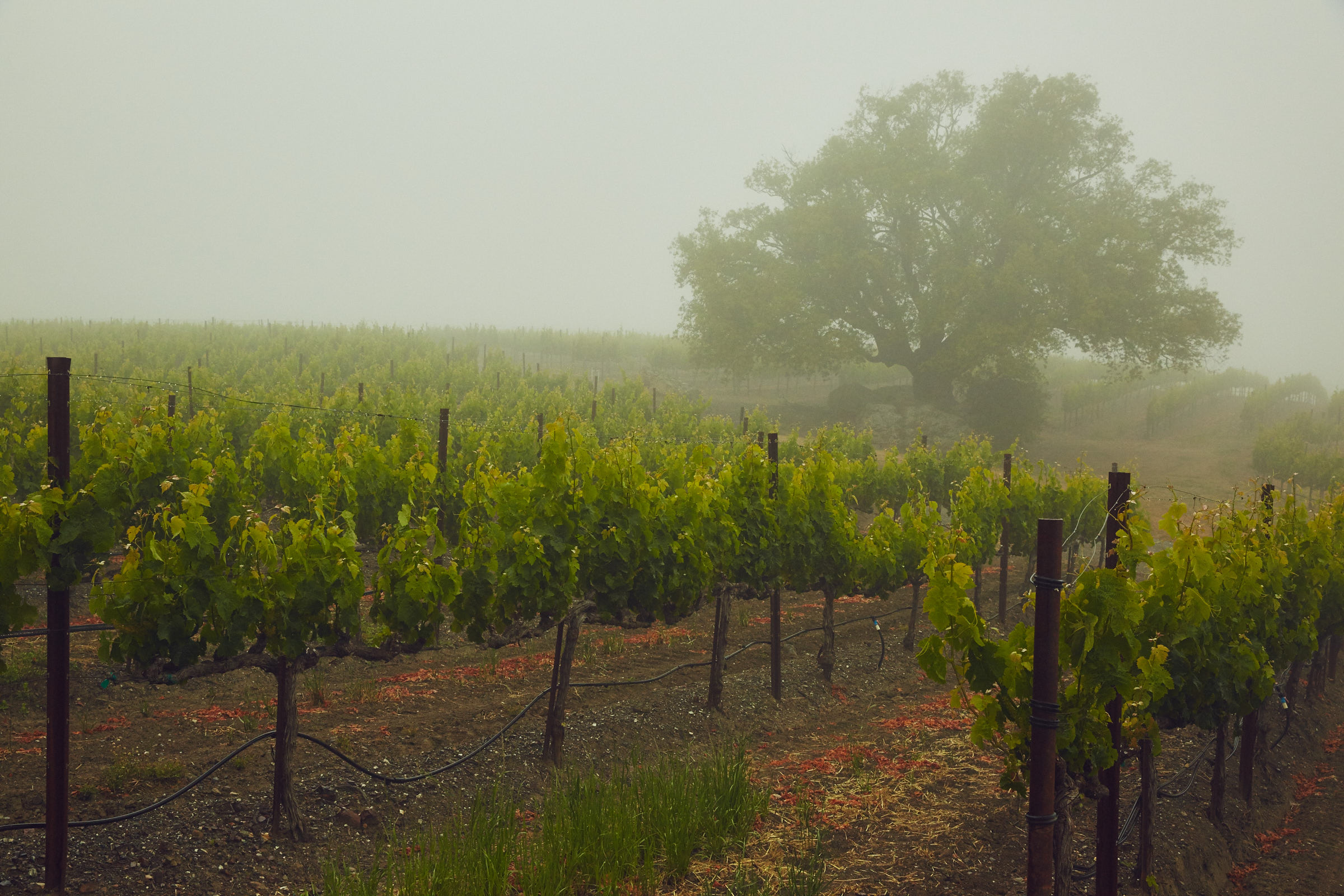 Stonestreet Estate Foggy Vineyard